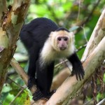 Capuchin, white faced monkey